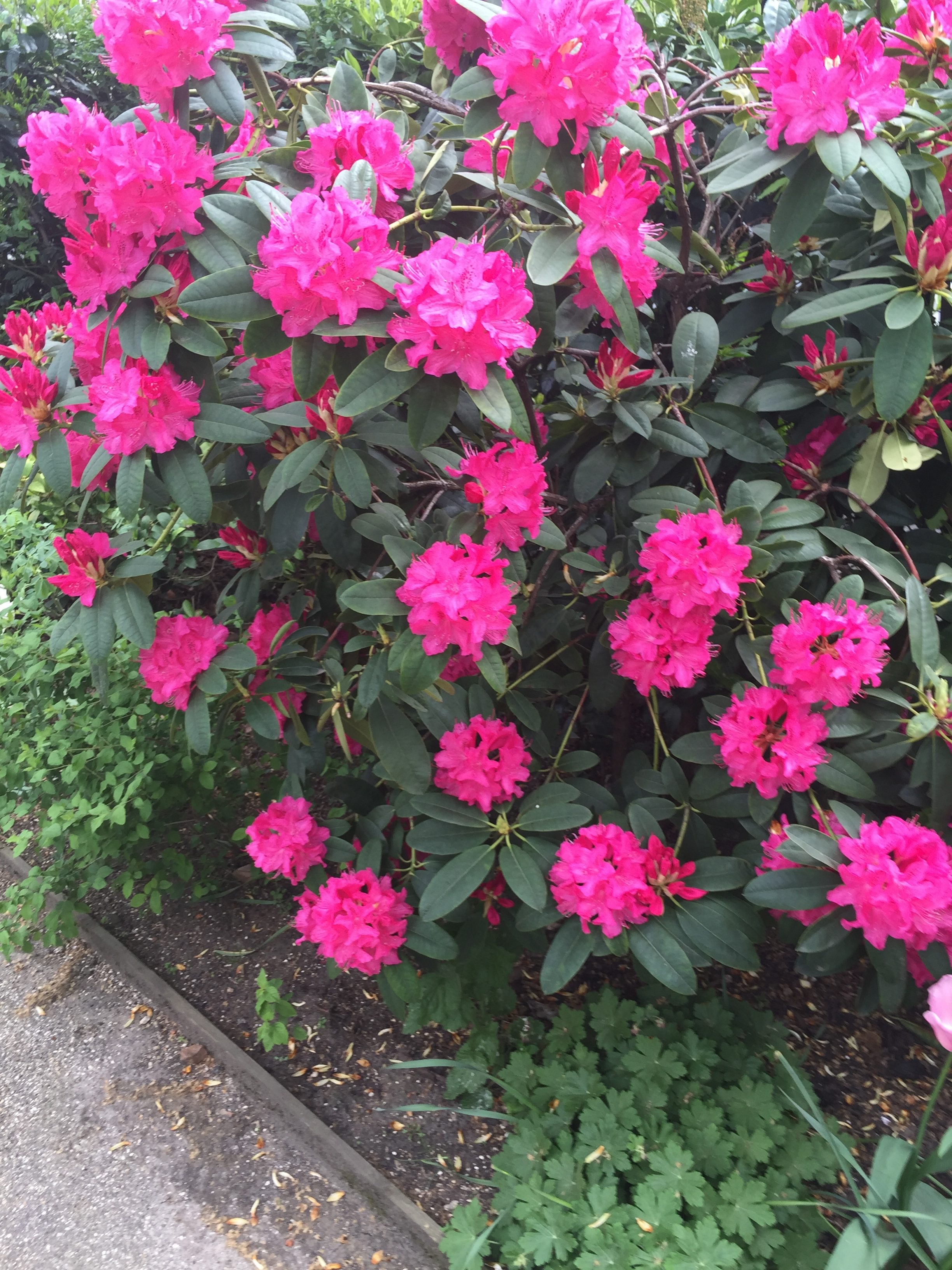 Bright Rhododendrons