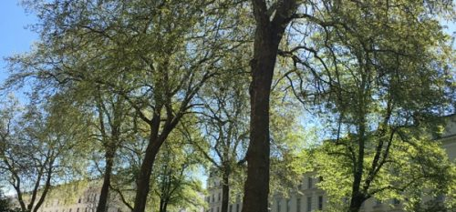 Majestic Plane Trees